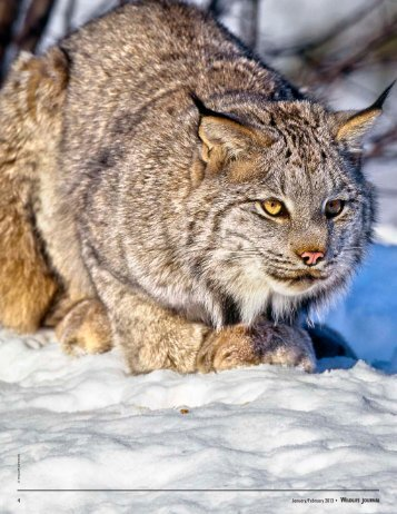 Return of the Lynx? - New Hampshire Fish and Game Department