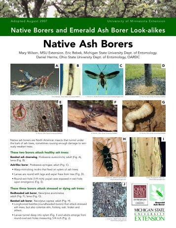 Native Borers and Emerald Ash Borer Look-alikes