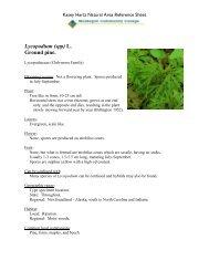 Lycopodium (spp) L. Ground pine.