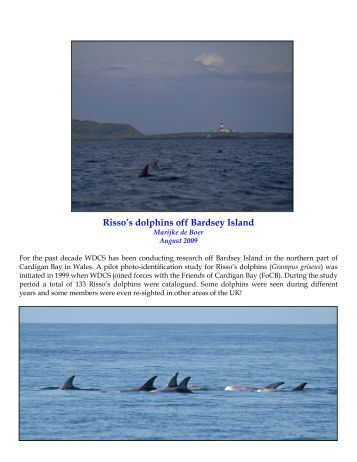 Risso's dolphins off Bardsey Island