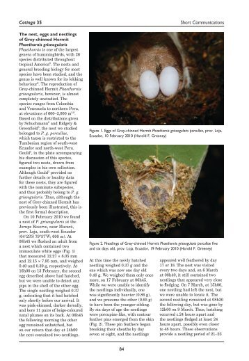 The nest, eggs and nestlings of Grey-chinned Hermit Phaethornis ...