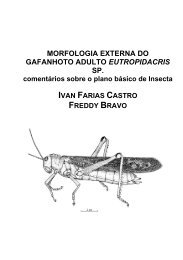 morfologia externa do gafanhoto adulto eutropidacris sp.