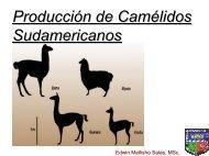 Camélidos