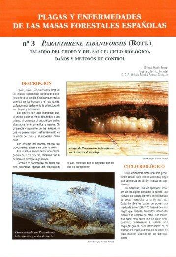 FICHA Nº3 Paranthrene tabaniformis, taladro del chopo ... - redforesta