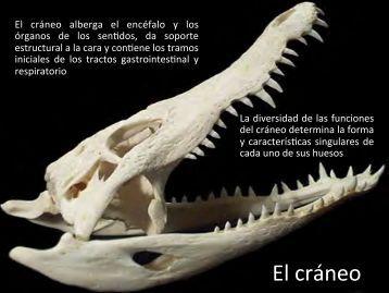 El cráneo - Aragosaurus