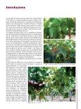 Le malattie del legno della vite di origine fungina - Sardegna ... - Page 5