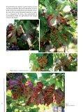 Le malattie del legno della vite di origine fungina - Sardegna ... - Page 6