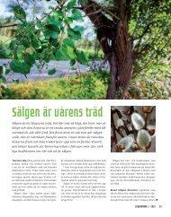 Sälgen är vårens träd - Lärarnas Nyheter