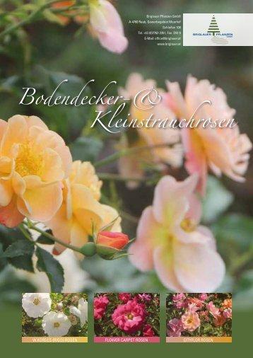 Bodendecker-& Kleinstrauchrosen - Briglauer