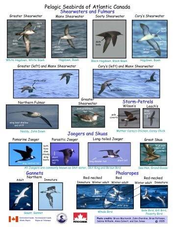 Seabird Identification Photo Card