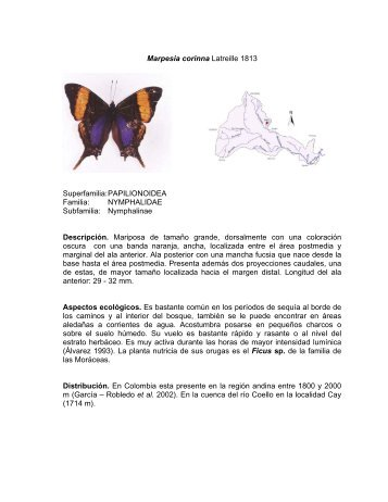 Marpesia corinna Latreille 1813 Superfamilia ... - Cortolima