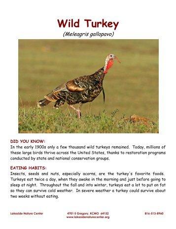 Wild Turkey - Lakeside Nature Center