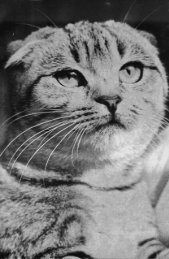 Cats with Folded Ears