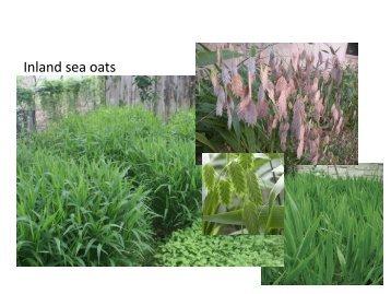 Inland sea oats