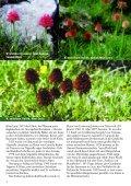 Nigritella und der Erzherzog Mormodes und die Bienen Limodorum ... - Seite 4