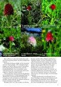 Nigritella und der Erzherzog Mormodes und die Bienen Limodorum ... - Seite 5