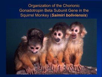 Gonadotropin Beta Subunit Gene in the Squirrel Monkey (Saimiri boliviensis)
