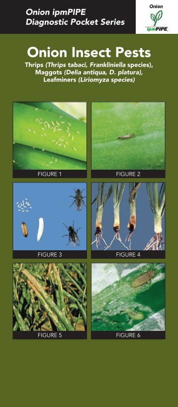 Onion Insect Pests