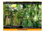 CUCURBITALES Cucurbitáceas