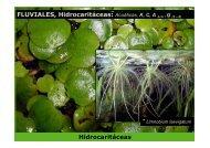 FLUVIALES Hidrocaritáceas * Hidrocaritáceas