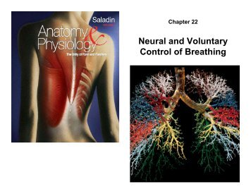 Neural and Voluntary Control of Breathing
