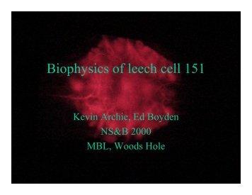Biophysics of leech cell 151