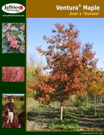 Ventura Maple