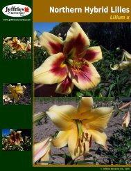 Northern Hybrid Lilies