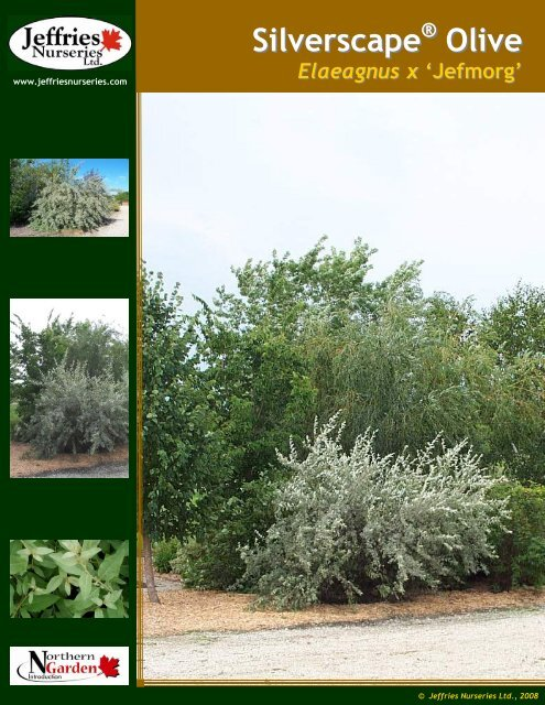 Silverscape Olive