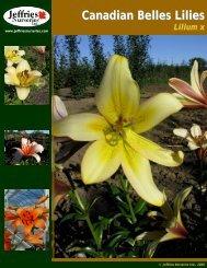 Canadian Belles Lilies