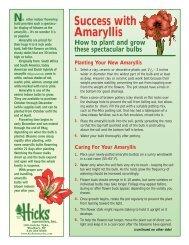 Success with Amaryllis