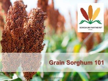 Grain Sorghum 101