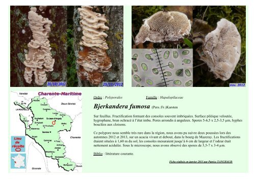 Bjerkandera fumosa (Pers.:Fr.)Karsten