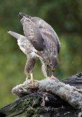 BIRDS OF PREY IN SCOTLAND - Page 6