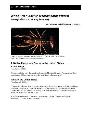 White River Crayfish (Procambarus acutus)