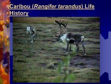 Caribou (Rangifer tarandus) Life History