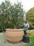 Pflegeanleitung Olivenbäume - ihrswissgardenteam - Seite 4