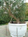 Pflegeanleitung Olivenbäume - ihrswissgardenteam - Seite 5