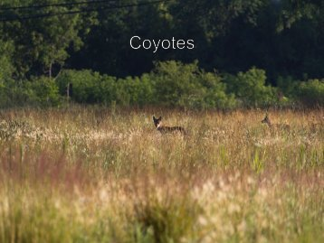 Living with Coyotes