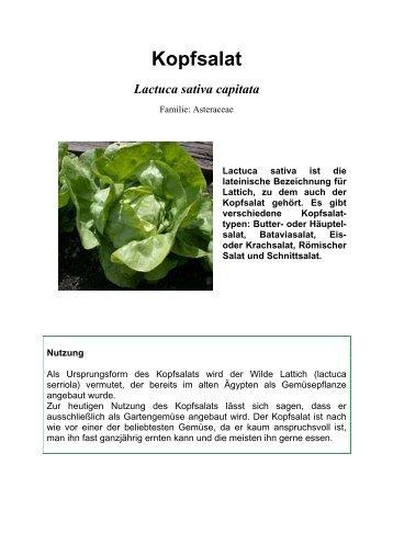 Kopfsalat Lactuca sativa capitata