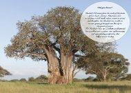 Page 11 Baobab Tree
