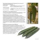 Leaflet Cucumber Imea Russia - Page 5