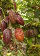 estudio-cacao-peru-julio-2016 - Page 7