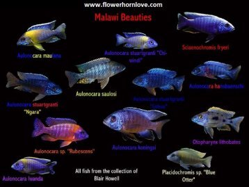 Different Types of Cichlids