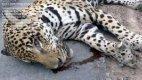 Jaguar story - Page 4