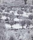 Olivenbäume - Seite 4
