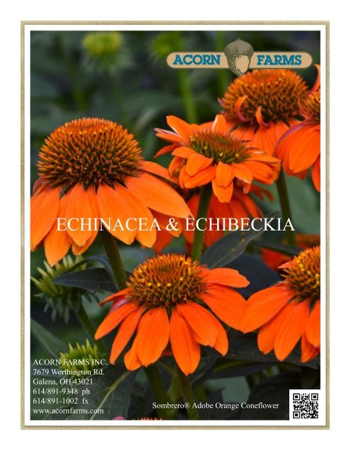 Perennial Coneflower Echinacea Purpurea Seeds FATAL ATTRACTION 15 Seeds