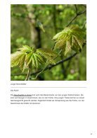 Welche Blätter von Bäumen können wir essen - Page 4