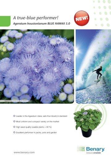Ageratum houstonianum Blue HAwAii 5.0 - Benary