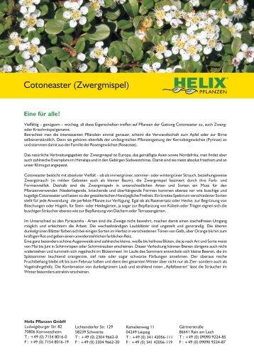 Cotoneaster (Zwergmispel) - Bodendecker